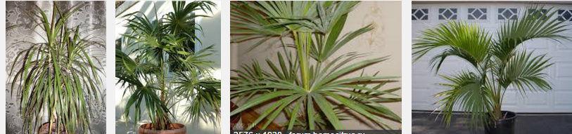 Самые распространенные виды пальм для дома
