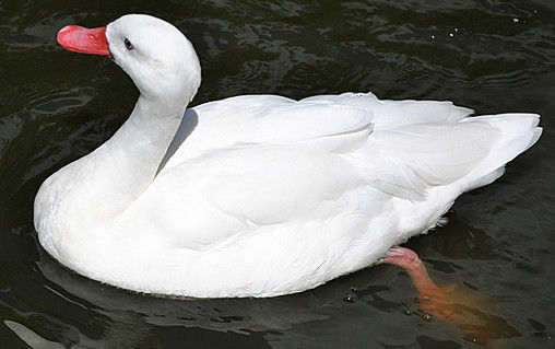 Белая московская утка