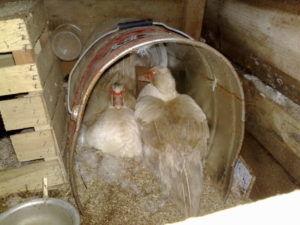 Белые индоутки в гнезде