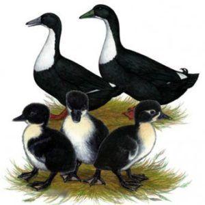Черная белогрудая утка и её потомство