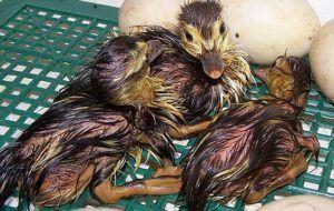 Птенцы индоутки после вылупливания