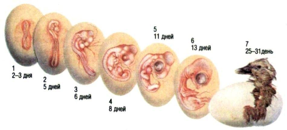Развитие зародыша утки по дням