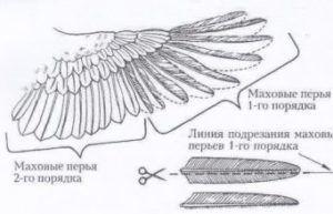 Схема подрезания крыла утки