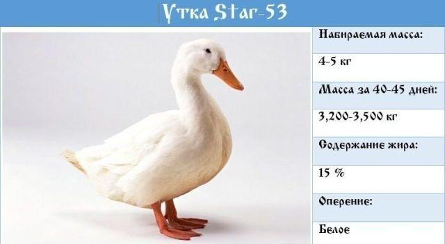 Star-53 бройлерная утка