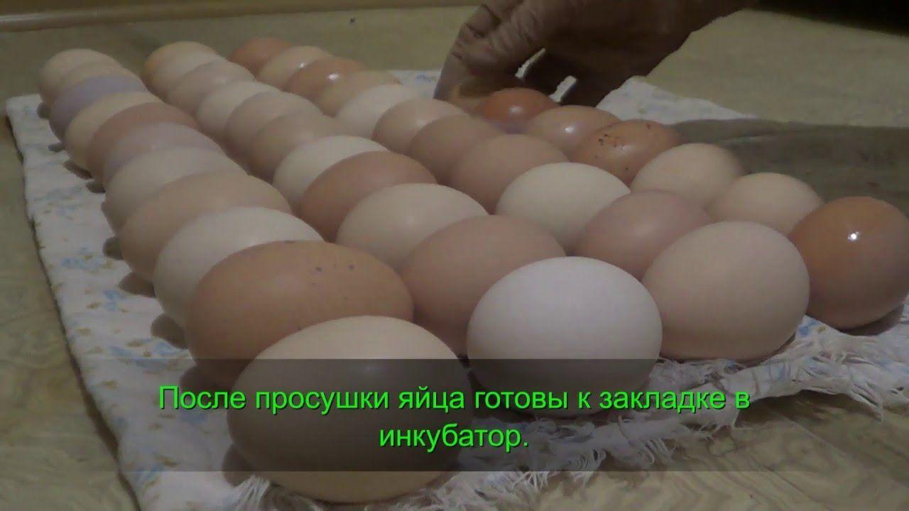 Сушка яйца перед закладкой в инкубатор