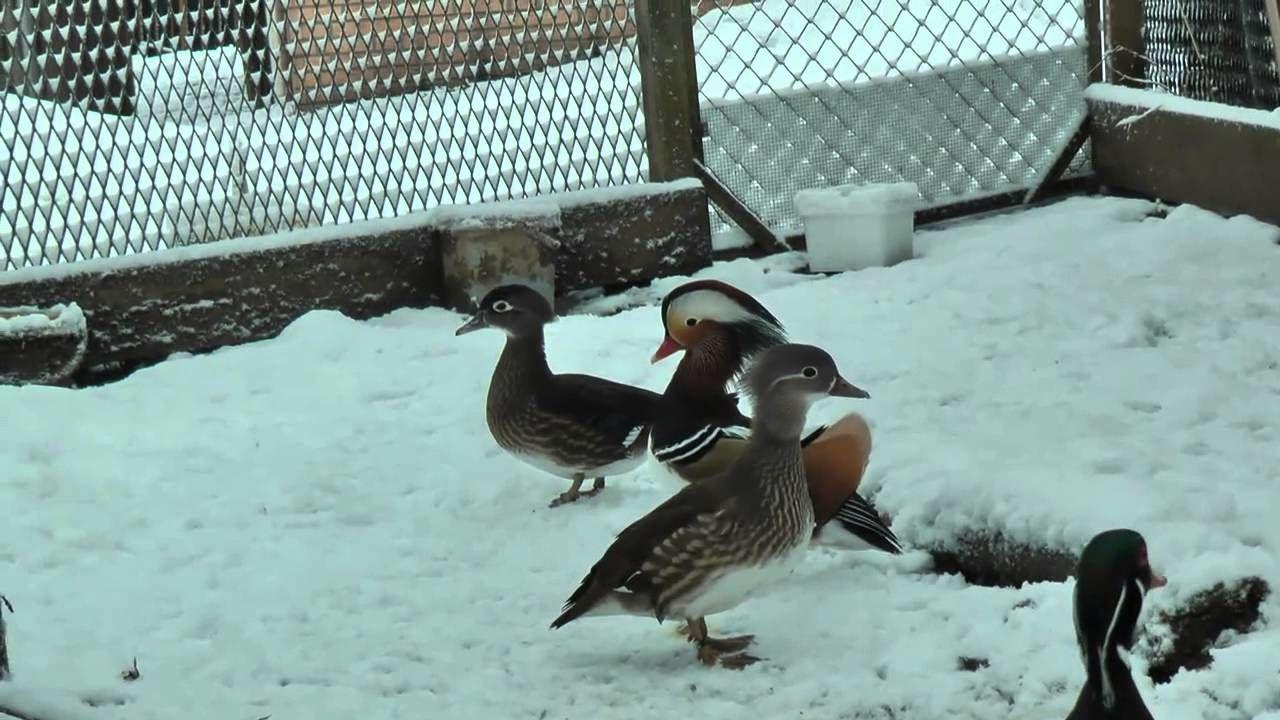 Утки мандаринки в вольере зимой
