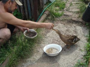 Выкармливание подсадной утки