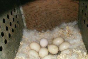 Яйца индоутки в гнезде
