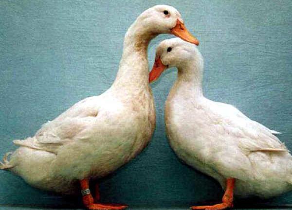 Благоварские утки (белые)