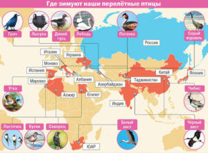 Где зимуют наши перелётные птицы
