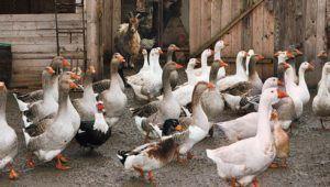 Гуси и утки в одном дворе