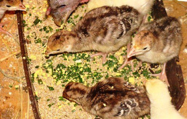 Индюшата едят мешанку с травой