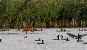 Лиса ловит уток