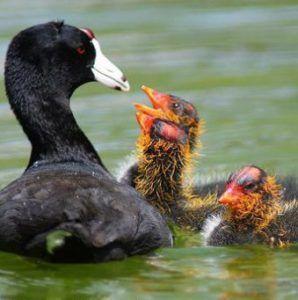Лысуха кормит птенцов