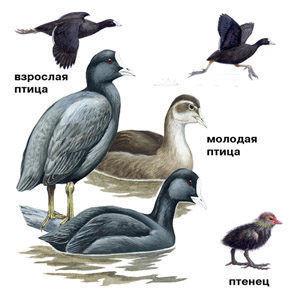 Лысуха (селезень, утка, птенец)