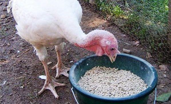 Молодой индюк кушает зерно