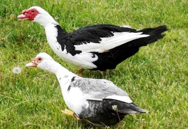 Мускусные утки (селезень - сверху)