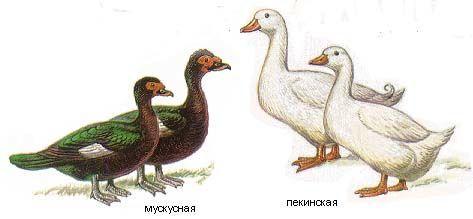 Пекинская и мускусная утки