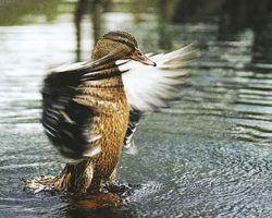 Подсадная утка