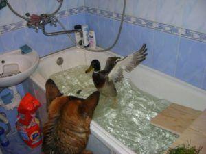 Подсадная утка купается в ванной