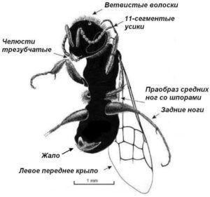 Прародитель пчёл 100 млн лет назад до н.э., окаменелость в янтаре
