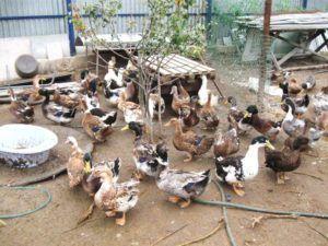 Разнообразные утки во дворе