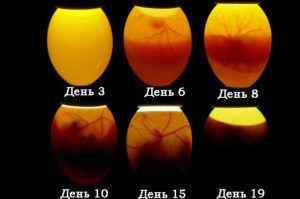 Развитие эмбриона в яйце (фото во время овоскопирования)