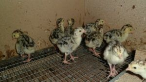Содержание индюшат в птичнике с сетчатым дном помогает избежать склёвывания ими собственного помёта