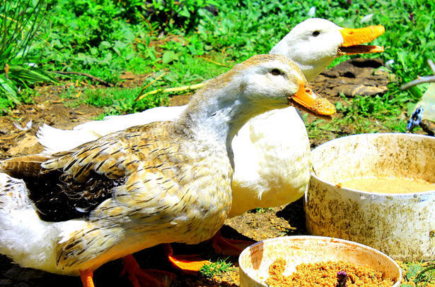 Утки едят мешанку с картошкой