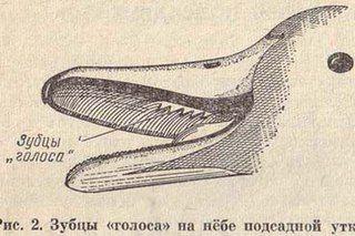 Зубцы голоса на клюве подсадной утки