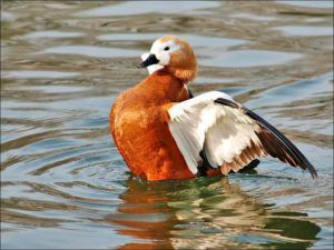 Утка огарь на озере