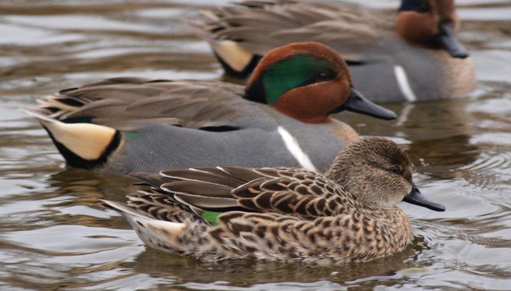 Чирок-свистунок селезень (с зелёной полосой на голове) и утка
