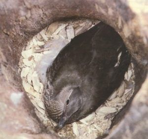 Гнездо мандаринки в дупле