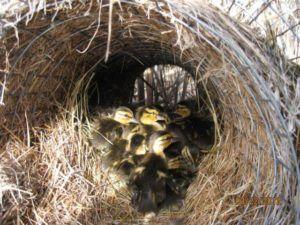 Гнездо (туннельного типа) с птенцами