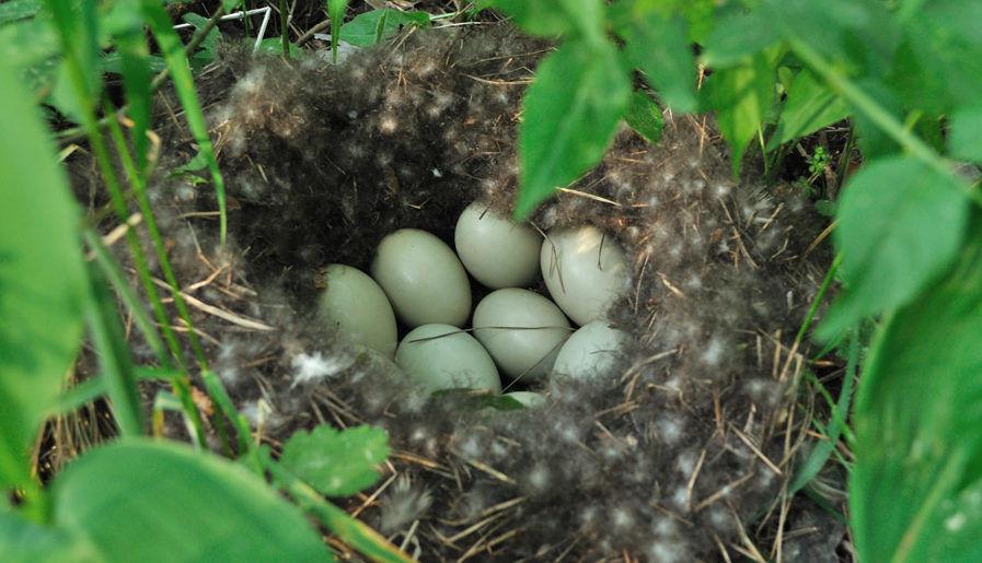 Гнездовье дикой утки