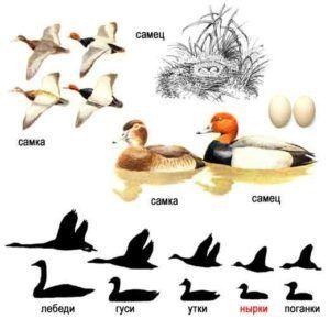 Красноголовый нырок (внешний вид селезня, утки, птенца и гнезда)