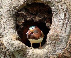 Мандаринка у гнезда