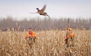 Охота на фазана- нагоном
