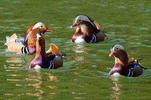 Плавающие утки-мандаринки
