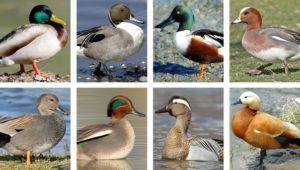 Разнообразие диких уток