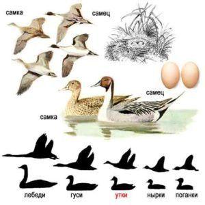 Шилохвость (внешний вид селезня, утки и гнезда)