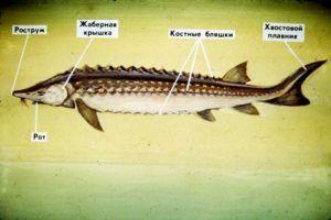 Строение осетровой рыбы