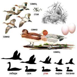 Свиязь (внешний вид самца, утки, цыплят и гнезда)
