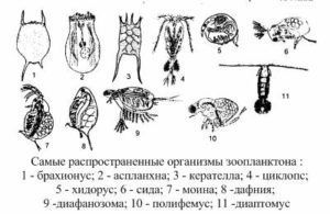Зоопланктон