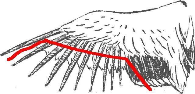 Подрезка крыльев у птицы