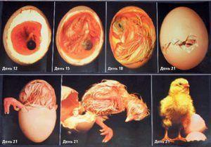 Особенности инкубирования гусиных и утиных яиц