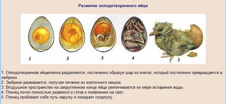Развитие оплодотверенного яйца