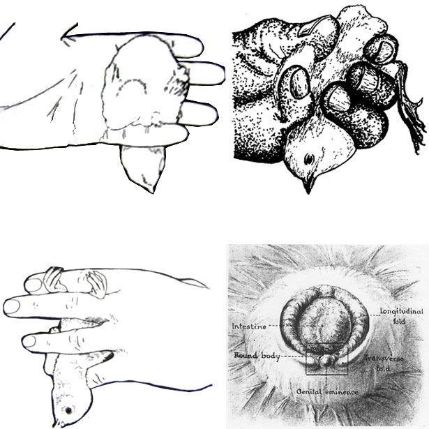Японский метод определения пола цыпленка