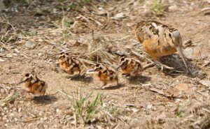 птенцы вальдшнеп очень рано покидают мать