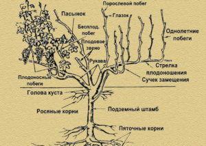 Особенности строения корневой системы винограда и схема куста